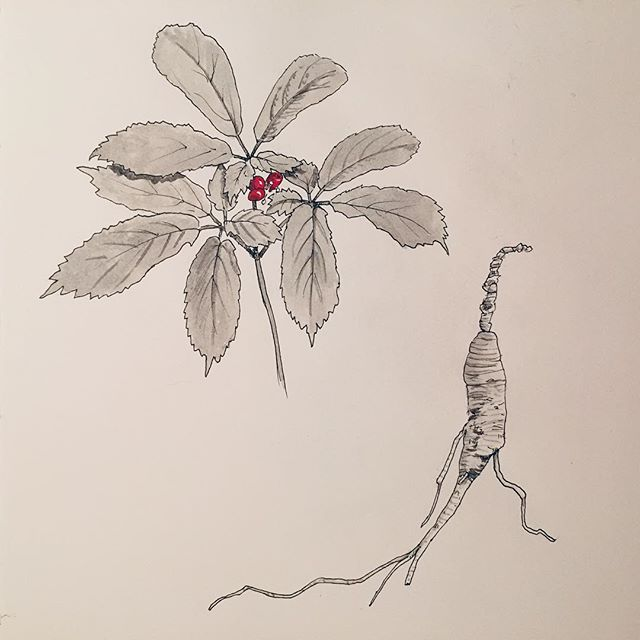 Drawing of American Ginseng